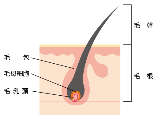 cross-sectional-view-of-the-skin_hair_s